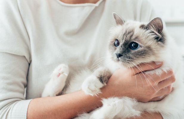 Pourquoi est-ce pas mon chat aime être tenue?  Les vétérinaires obtiennent beaucoup de questions sur les animaux domestiques, et non pas tous d'entre eux sont sur la santé. Souvent, les propriétaires d'animaux posent des questions sur les comportements apparemment aléatoires.