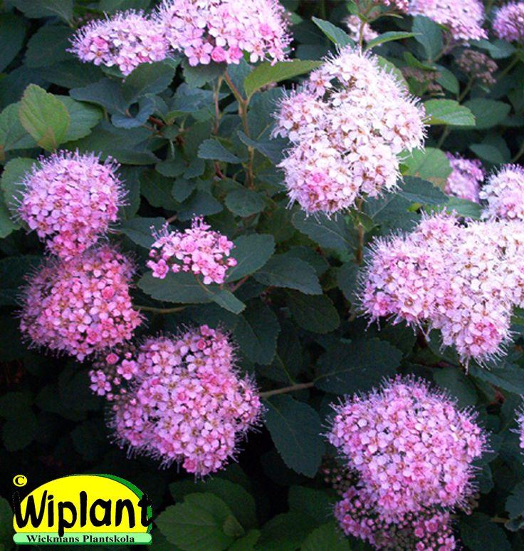 Rekommenderas! Spiraea densiflora, Släntspirea. Tät, ovala blad. Rosa blommor. Höjd: 0,8-1 m.