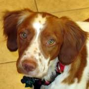 American Brittany Rescue helps place and transport Brittanys to their forever homes.  So many great people dedicated to a sweet breed.