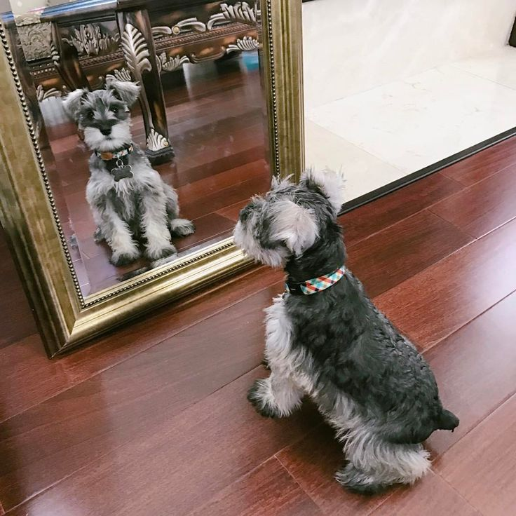 """78 Likes, 4 Comments - MoMo (@momo_schnauzer) on Instagram: """"Mirror mirror on the wall, who is the cutest of them all? #doglife #funnydog #cutedog…"""""""