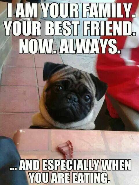 Pug memes are always funny because it's dogs and food, what is better than that?!