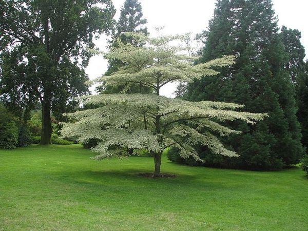 Cornus alternifolia Alternate-leaved dogwood, Pagoda dogwood