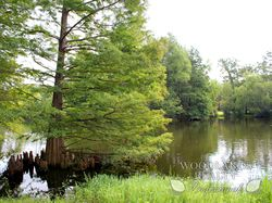 Tree over lake - Gallery - Woodlands Realty Pros