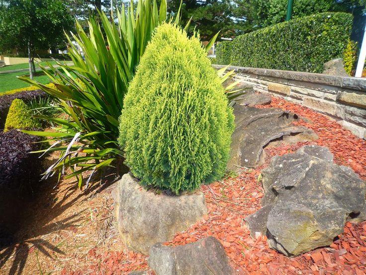 Dwarf golden biota thuja orientalis 39 aurea nana 39 shops for Arborvitae garden designs