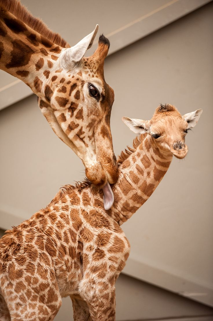 2052 best images about ZooBorns on Pinterest | Zoos ...