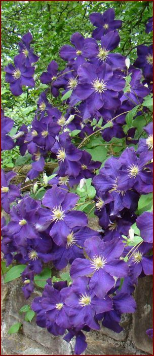 Clematis Jackmanii  The rich purple, 5 inch flowers appear in profusion in early summer and can keep coming all summer long! This fine selection is great as a specimen on a trellis or grown in combination with other plants like New Dawn Climbing Rose.