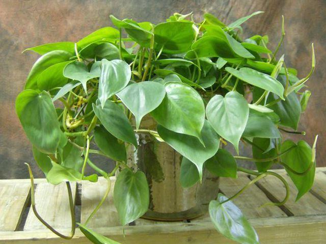 Questa pianta non dovrebbe mai mancare in nessun