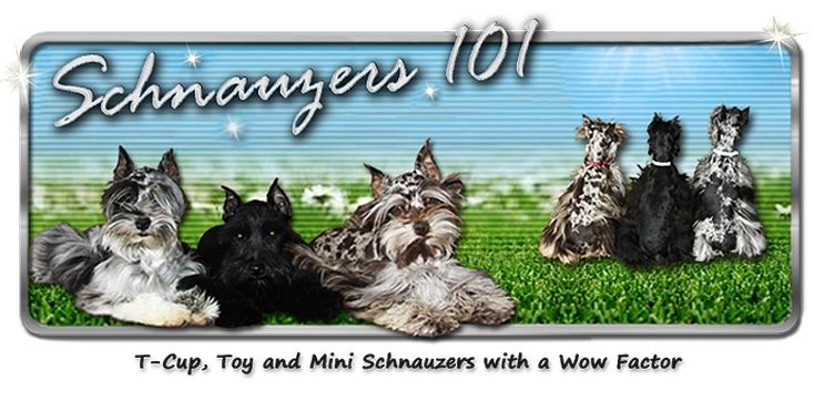 Toy & Mini Schnauzer Puppies for Sale – Parti Schnauzer Breeder | Schnauzers 101