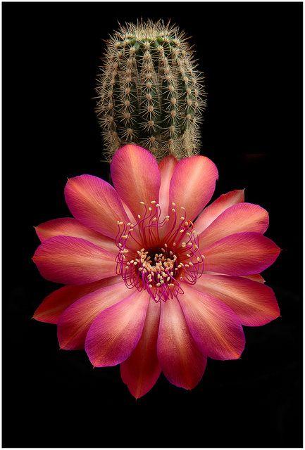 Echinopsis Hybrid 'Cassandra'