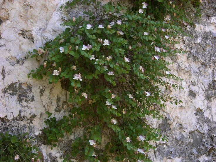 CAPPARIS SPINOSA sempreverde drenatissimo Sole bianco-roseo Capparaceae Maggio - Agosto 30 cm - 40 cm adatto a un giardino roccioso