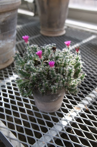 This is a cactus mimic succulent called Trichodioadema denesum. It flowers abundantly.: Mimic Succulents, Flowers Abundance, Black Flowers, Cactus Mimic, Succulents Call, Cacti Succulents Desert, Call Trichodioadema, Trichodioadema Denesum,  Flowerpot