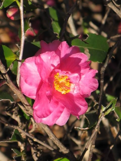 1月22日の誕生日の木は「カンツバキ(寒椿)」です。 ツバキ科ツバキ属の常緑低木。原産地は、日本及び東アジアとする説と中国とする説があります。サザンカの園芸品種とされていますが、ヤブツバキとサザンカとの交雑種ともいわれています。 名前の由来はもちろん、寒の時季に咲くツバキからです。カンツバキには「シシガシラ(獅子頭)」の別名があり、関東ではカンツバキ、関西ではシシガシラと呼ばれることが多いようです。 樹高は1.5m~3m。若枝や葉柄、葉の裏に毛がありますが、サザンカより少なめです。葉は長さ2.5cm~6cmの長楕円形で先はとがり、基部はくさび形。葉の表面は光沢のある濃緑色で、縁には鈍いギザギザ(鋸歯)があります。
