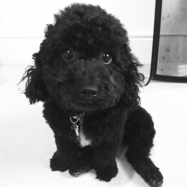 poochon!! Animals Pinterest Poodles, Bichon frise