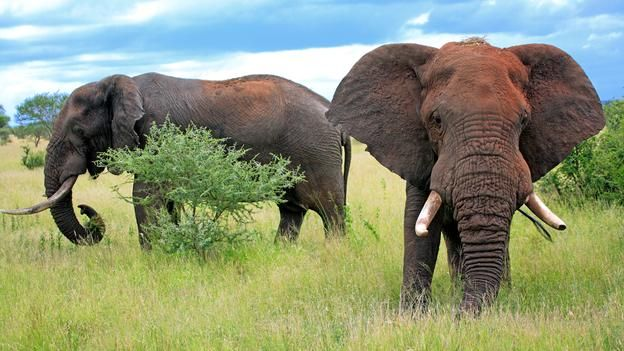 BBC - Earth - Male elephants are not the loners we once thought