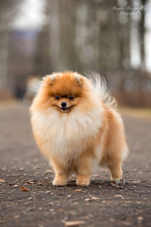 Pomeranian Breeders Mn : pomeranian, breeders, Pomeranian, Margarita, Davydova, #pomeranian, Davydova., Puppies,, Puppy,, Teacup, Puppies