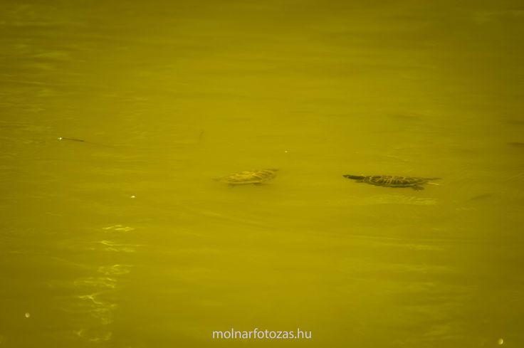 Two cute tortoise in Lake Békás. Mr and Mrs? :)  #cute #turtles #Békástó #Debrecen
