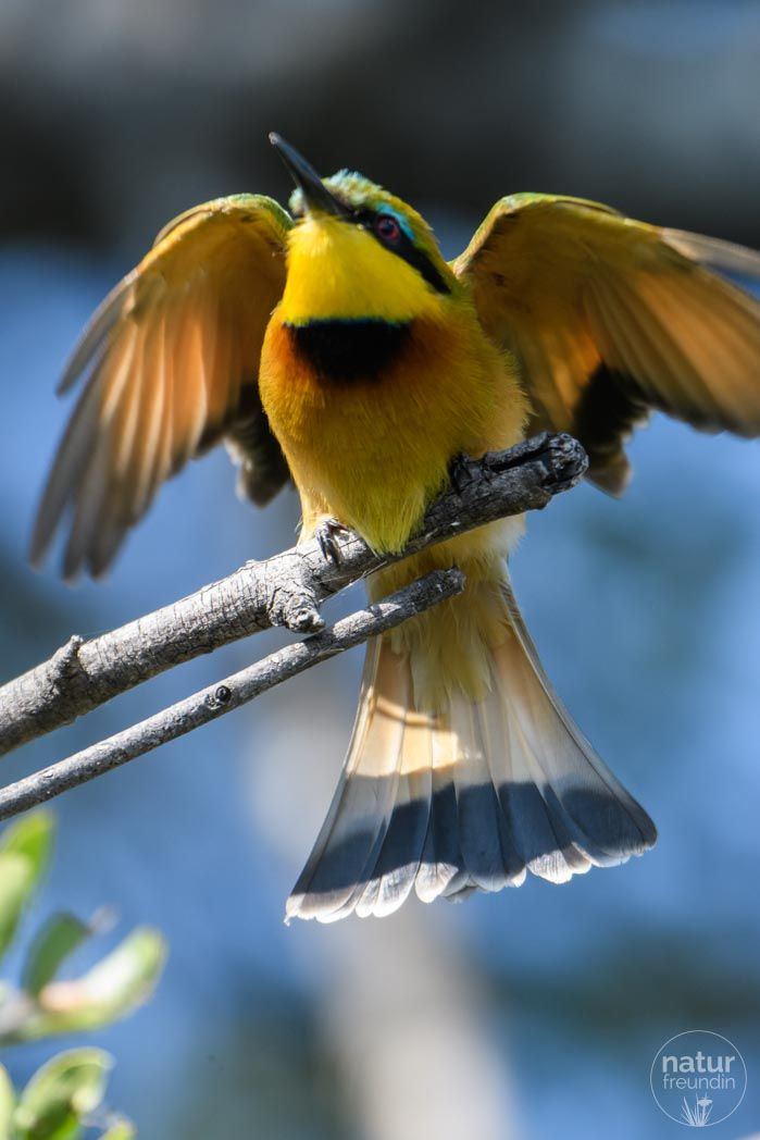 Der kleine Zwergspint Bienenfresser (little bee eater) ist in Botswana Zuhause.   Sowohl im Chobe Nationalpark als auch im Okavangodelta kannst du den hübschen Vogel erleben.