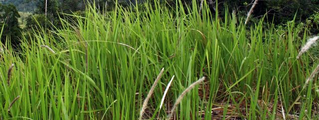 Imperata Plant      In agricultural areas, Farmers usually categorized reed as weed because it can hamper the growth of plants they are cu...
