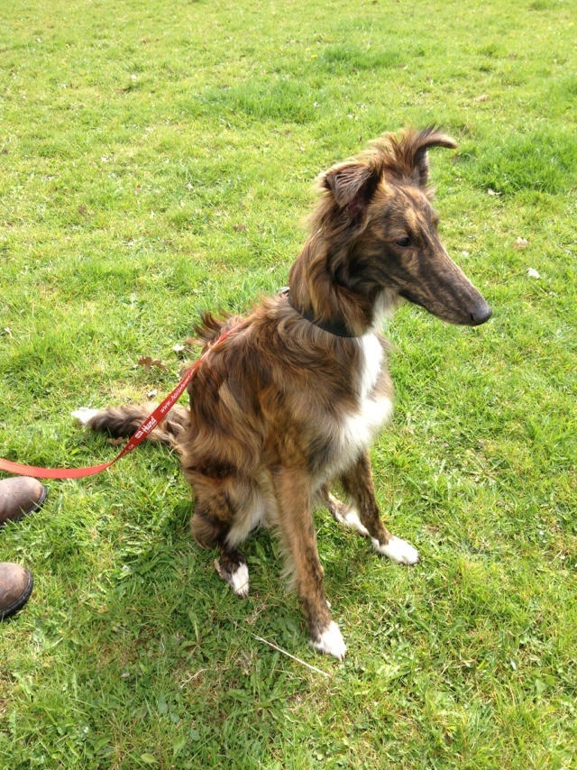 Silken Windhound - I didn't know these existed until I researched further - thought they were Borzoi's or something? EITHER WAY IM GETTING ONE!!!! :D Kirby needs a brother/sister!