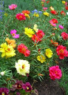 Moss roses, one of my favorites.  Easy.