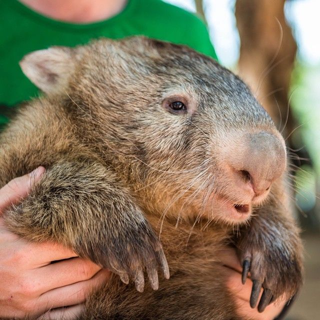 Meet Tonka, the famous wombat from The Billabong Sanctuary, which is just a short drive south of Townsville. Pic by hazfos via IG #townsvilleshines #tropicalnorthqueensland #thisisqueensland