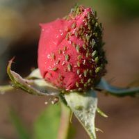 Rose bushes may become infected with bugs, such as aphids. While you can buy insecticides at a nursery or garden section of a hardware store, you can also make your own. Use a combination of water and dish soap to kill the insects. The dish soap breaks down the bug's outer layer, which renders it helpless.
