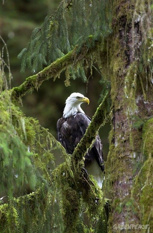 Tongass National Forest | Bald eagle, Tongass National Forest Alaska