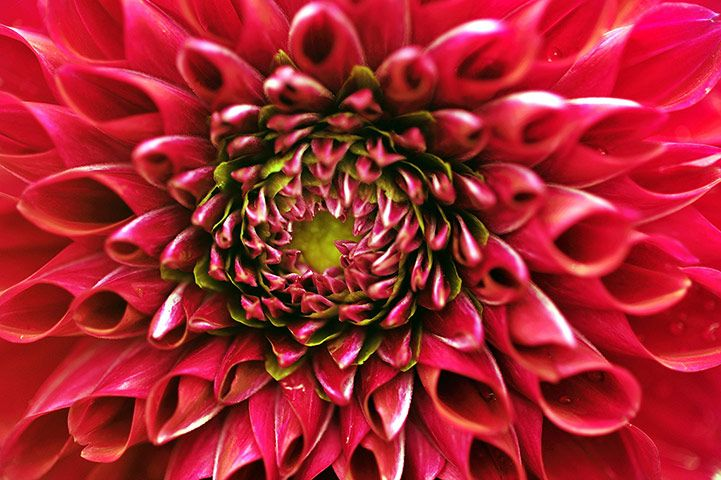 A dahlia flower displayed at the annual Lalbagh Flower Show 2012 in Bengaluru. The flower show is being readied for India's independence day celebration on 15 August