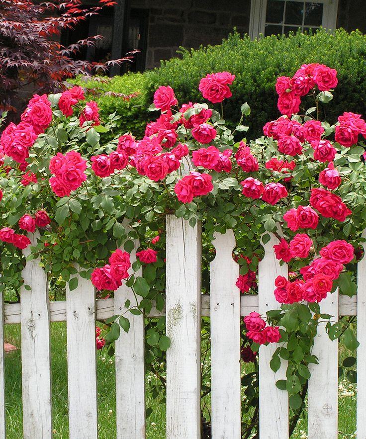 Roses In Garden: How Does Your Garden Grow