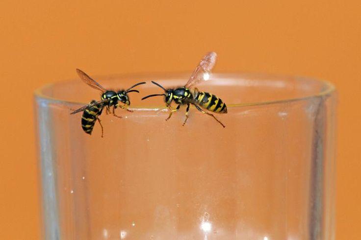 preventietips tegen wespen