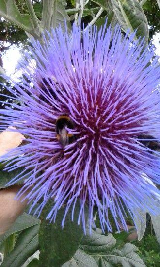 Cardoon flower keeping many bumblebees happy