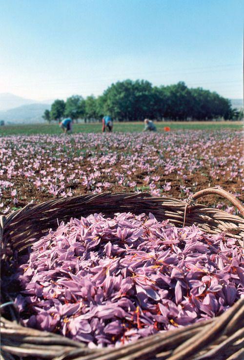 Harvesting crocus (saffron) in Kozani