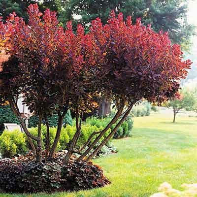 FOCUS ON FOLIAGE AS MUCH AS FLOWERS --  The burgundy hues in this multistemmed smoke bush and the coral bells around its base make for a stunning focal-point planting.