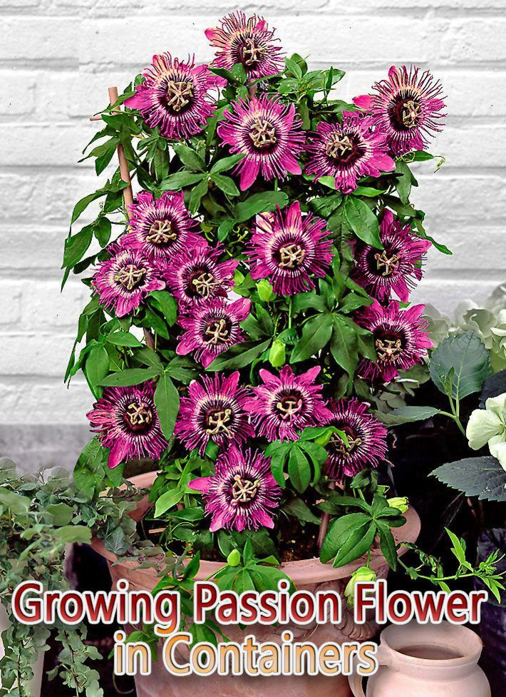 Quiet Corner Growing Passion Flower In Containers Quiet Corner Passion Fruit Flower Passion Flower Flowering Vines