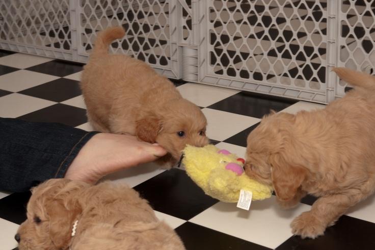 puppy tug o warPuppies Tug