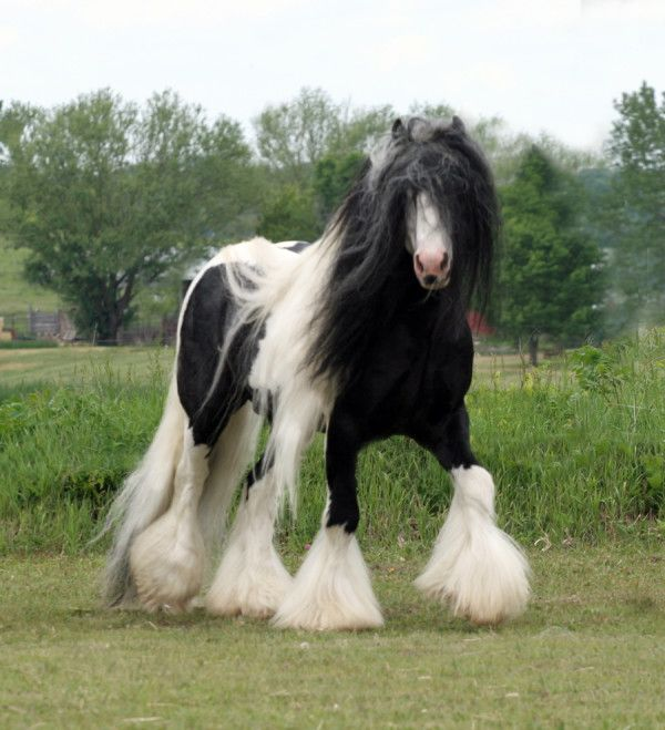 #8. The Friesian-Gypsy Vanner Crossbreed   Awesome !