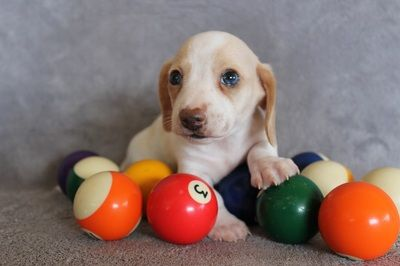 We have been breeding AKC Dachshunds since 1997...