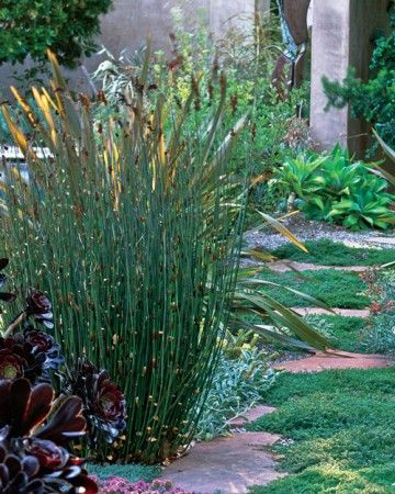 Native to South Africa; Zones 9 to 15; height 2 to 3 feet; part shade to full sun. An herbaceous plant that contributes appealing structure to the garden with its elegant vase-like habit. The dark green reedlike stems are divided into sections by attractive mahogany sheaths.