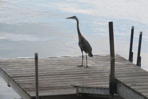 Blue Heron on the dock at Loralea Country Inn Resort on Halls Lake in Haliburton, Ontario
