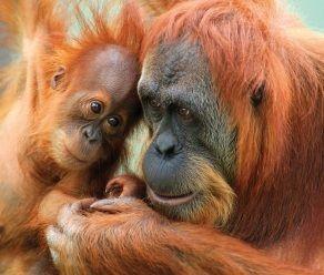 Orangutan -- Mother and Son