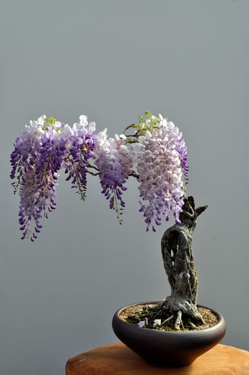 Wisteria bonsai proves big beauty comes in small packages