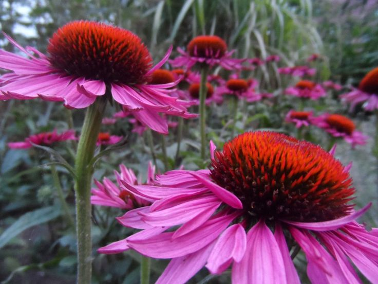 This colour combination is a bit over the top, but I like it anyway - rode zonnehoed purple coneflower  - echinacea purperea