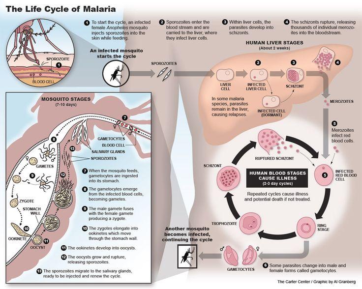ciclo de vida de la malaria