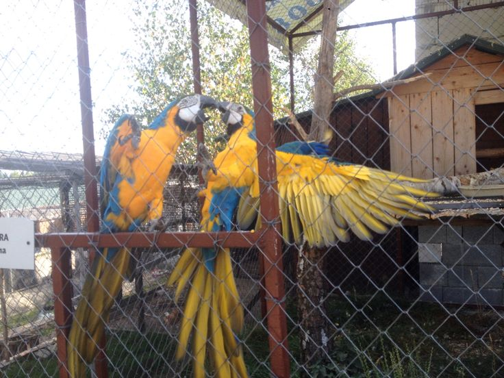 Parrots fighting