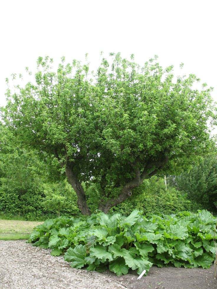 Apple tree at Southwell Workhouse garden