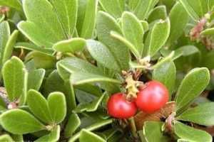 La gayuba es un matorral que crece de manera natural en el Norte de Europa, en América y en Asia. También se la conoce como uva de oso y resulta ser un excelente remedio natural para tratar infecciones urinarias medias y bajas. SIGUE LEYENDO EN: http://alimentosparacurar.com/plantas-medicinales/n/273/la-gayuba-en-el-tratamiento-de-infecciones-urinarias.html
