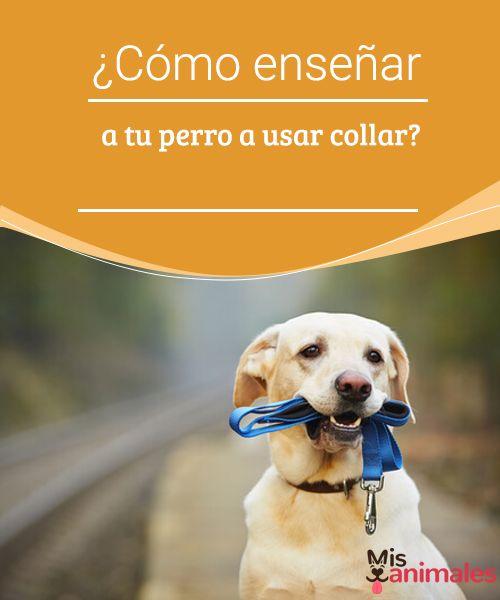 ¿Cómo enseñar a tu perro a usar collar?  El collar y la correa deben ser bien implantados en nuestra mascota, para que no sean incómodos para llevar. Una vez que aprenda a usarlos será cómodo. #collar #enseñar #adiestramiento #cómodo