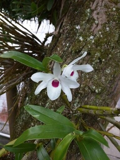 An epiphyte orchd that I don't know what kind of. 正体不明の着生ラン。