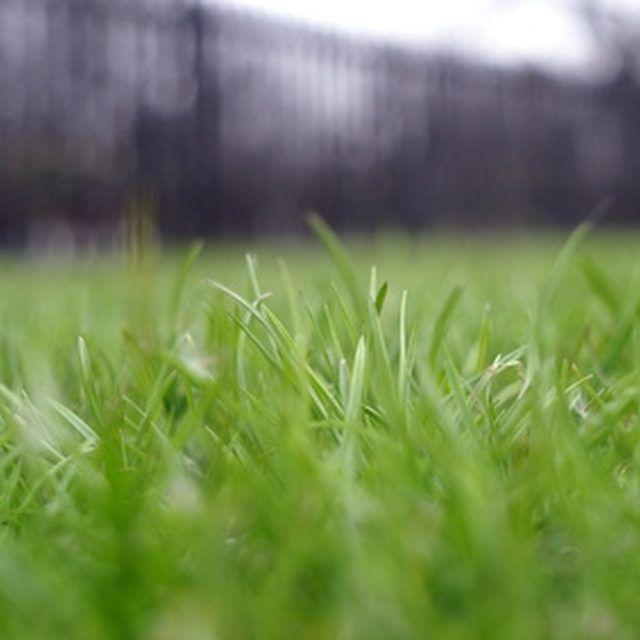 You can plant individual grass plants to establish a Bermuda grass lawn.