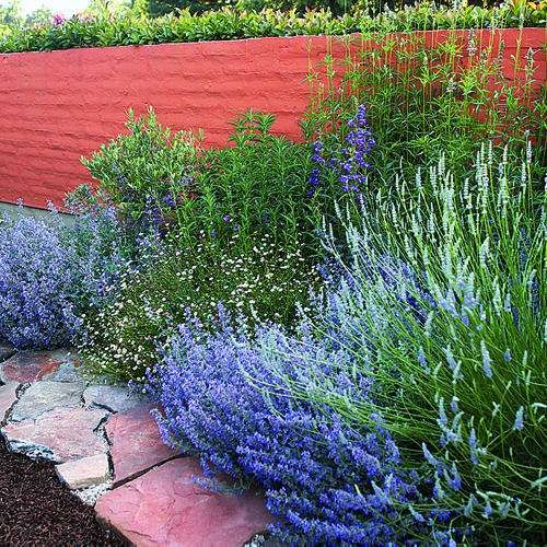 """A. Bog sage (Salvia uliginosa). Upright perennial sky blue flower. Up 4-6 ft tall & blooms late spring-fall. Sunset climate zones 6-9  B. Catmint (Nepeta x faassenii). Mound soft gray-green leaves  lavender-blue flowers spring- summer, 12"""" tall. Zones 1-24.  C. Lavandin (Lavandula x intermedia). Group sterile hybrids cross English & spike lavenders. Up 2 ft Zones 4-24.  D. Lion's tail (Leonotis leonurus Perennial 4 - 6 ft & wide orange flowers. Zones 8-24"""